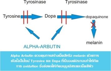 arbutin system ระบบการทำงานของอัลฟ่าอาบูติน ทางวิทยาศาสตร์